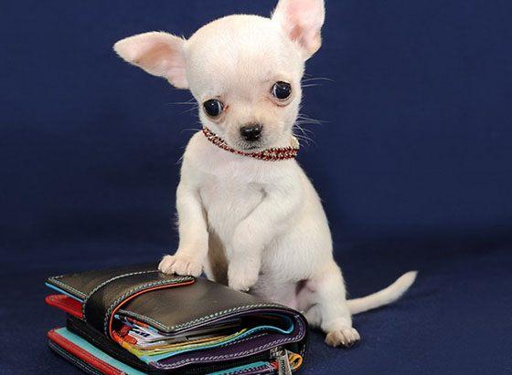 самая маленькая собака в мире сколько стоит