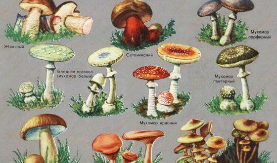 Доклад на тему ядовитые грибы 2646