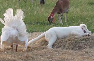 Индейка пытается развести дружбу со щенком