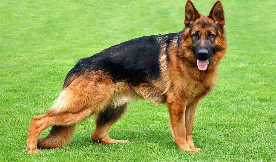 какая самая известная порода собак
