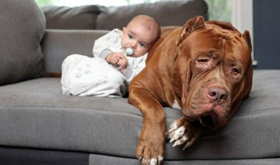 Pit bull named Hulk became the nanny for the baby