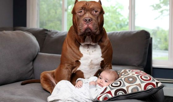 Parents are calm for the child: the dog is very balanced