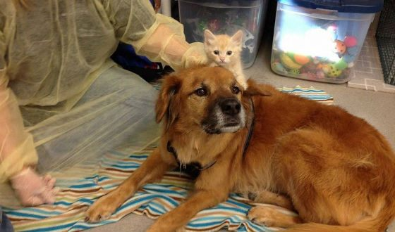 Boots works as a nanny for orphaned kittens at the shelter