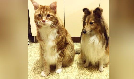 Омар в сравнении с собакой породы шелти