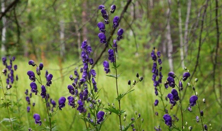 10 полевых растений, сбор которых может быть опасен для здоровья