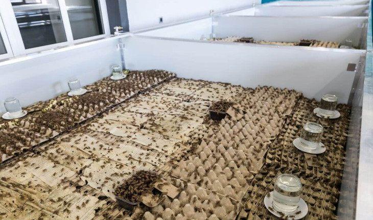 Как заработать на сверчках: идеи для ферм насекомых