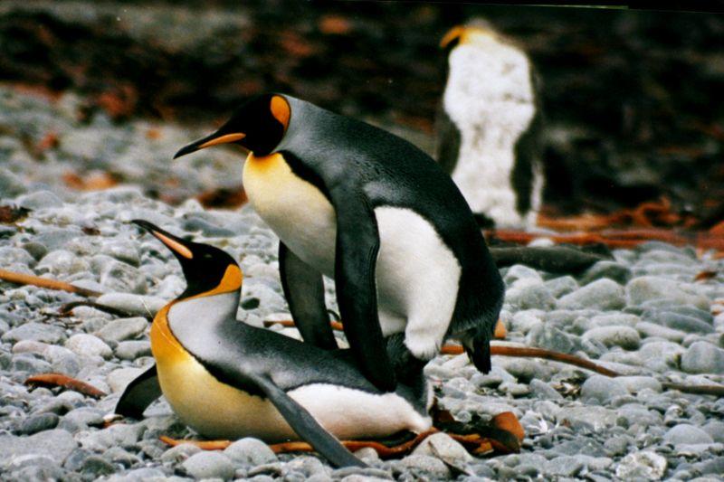 Секс и пингвины