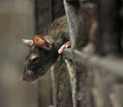 Крысы атаковали шотландский Интернет