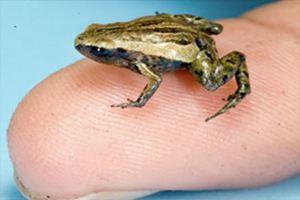 В Папуа-Новой Гвинеи обнаружили самую маленькую в мире лягушку