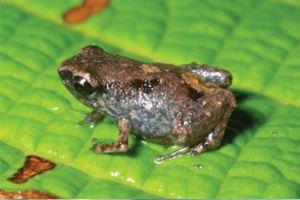 Обитает лягушка в листьях