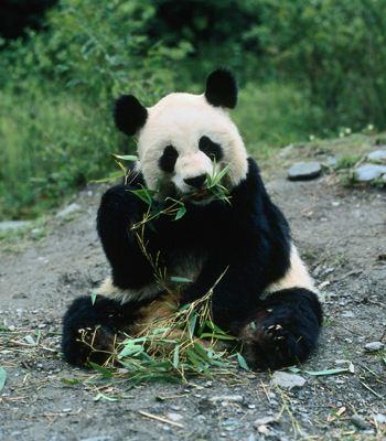 Для выращивания чая используются экскременты панды