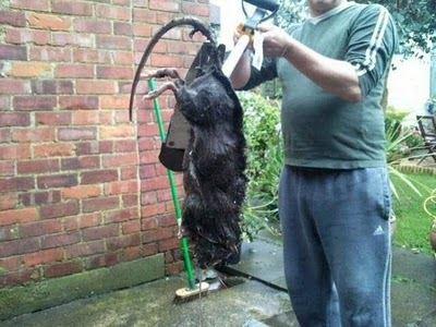 Гигантская крыса пугает