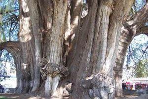 Сгорело древнейшее дерево в мире