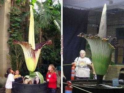 Аморфаллос - самый большой цветок в мире