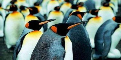 Современные пингвины гораздо мельче своих предков