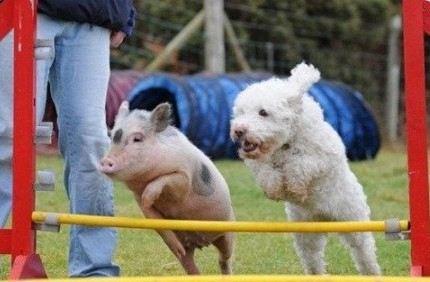 Мы писали раньше о дружбе собак и поросят