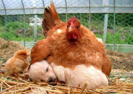 Даже курица не бросает спящего щенка и согревает его своим телом