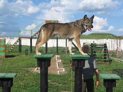 Волкособы охраняют границу в Забайкалье