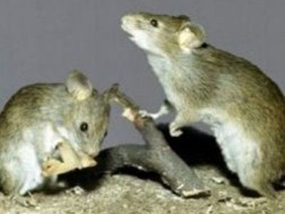 Мышек на мясо ловят только за городом