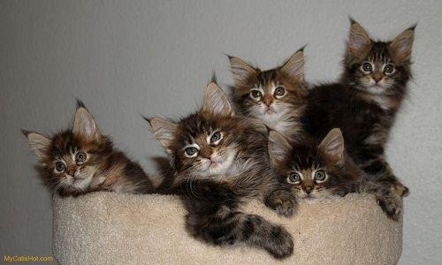 Котята Мейн кунов очень легко поддаются воспитанию