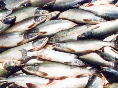 Разведением рыбы в Херсонской области занимаются много лет