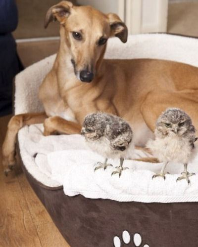 Собака тоже присматривает за совятами