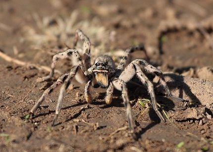 У тарантула прекрасная реакция