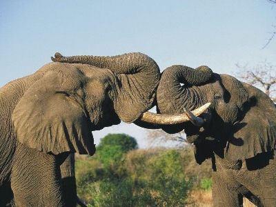 Поведение слонов изучается с помощью видеокамер