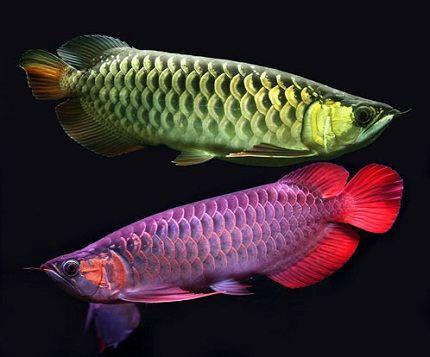 Почти золотая рыбка