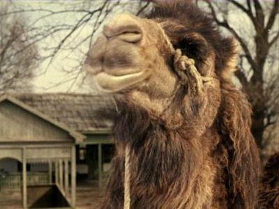 Верблюд на Востоке - очень востребован