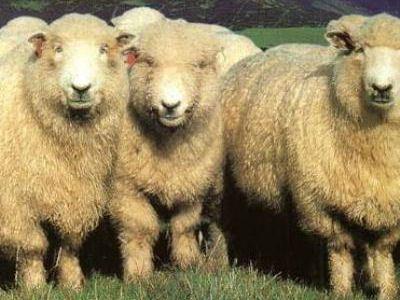 Алтайская тонкорунная овца