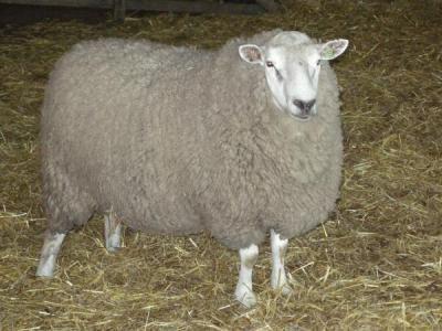 Западносибирская мясная овца