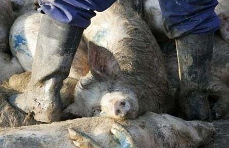 Все свиньи в хозяйстве были уничтожены бескровным методом и сожжены