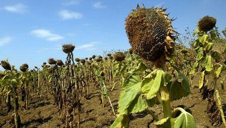 «Потери урожая в Алтайском крае составляют более 1 млн гектаров»