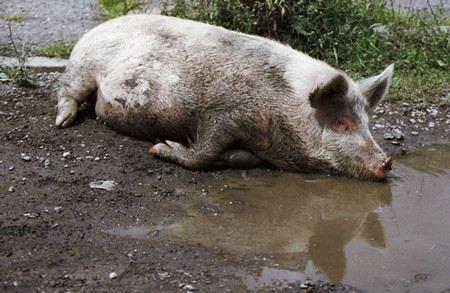 В Волгоградской области на неопределенный срок введен карантин по африканской чуме свиней