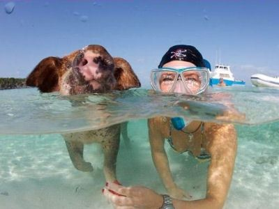 Плавающие поросята - местная достопримечательность