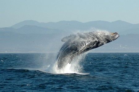 В гавани Сидней паром столкнулся с самкой и детенышем горбатого кита. Животные ранены