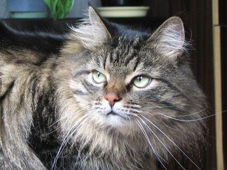 Сибирский котенок, который президент Путин подарил японскому префекту еще год будет находиться в ветеринарной клинике