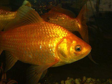 Золотые рыбки стали участницами конкурса красоты