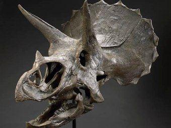Среди лотов череп трицератопса