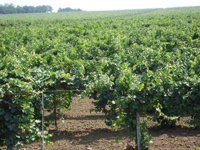 Площадь виноградников к 2020 году удвоится