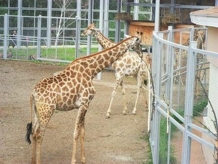 В Красноярске в зоосаде «Роев ручей» умерли два жирафа. Их смерть расследует специальная комиссия ветеринаров.