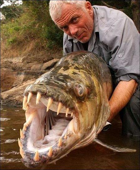 Ведущий передачи Речные Монстры канала Animal Planet Джереми Уэйд выловил в африканской реке Конго крупную и страшную на вид рыбу - большую тигровую рыбу Голиаф