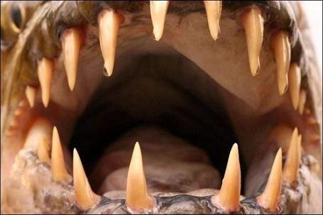 Во рту у рыбы Голиаф 32 больших и опасных зуба, поэтому она нападает даже на крокодилов