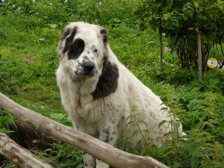 В Подмосковном городе Балашихе бездомный пес породы алабай откусил мужчине палец.