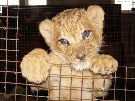 В Сальском районе Ростовской области рядом с поселком Сеятель дети нашли львенка.