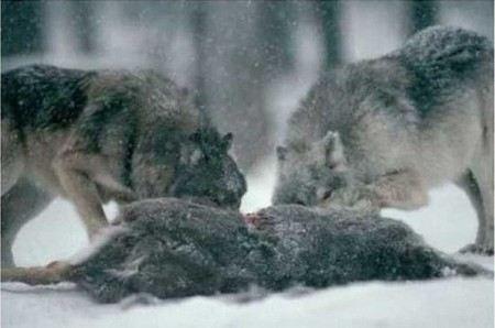 В Вытегорском районе Вологодской области тело 66-летней женщины съели волки или собаки.