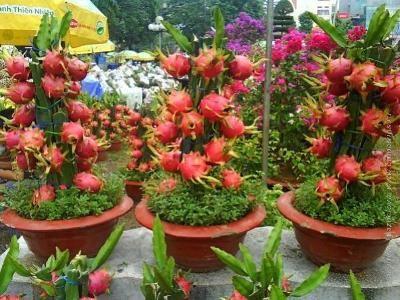 Питахайя растет на кактусах