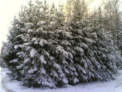 Заготовка новогодних елок идет полным ходом