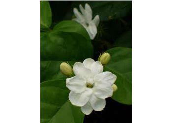 Белый жасмин Jasminum sambac также считается национальным цветком филиппинцев